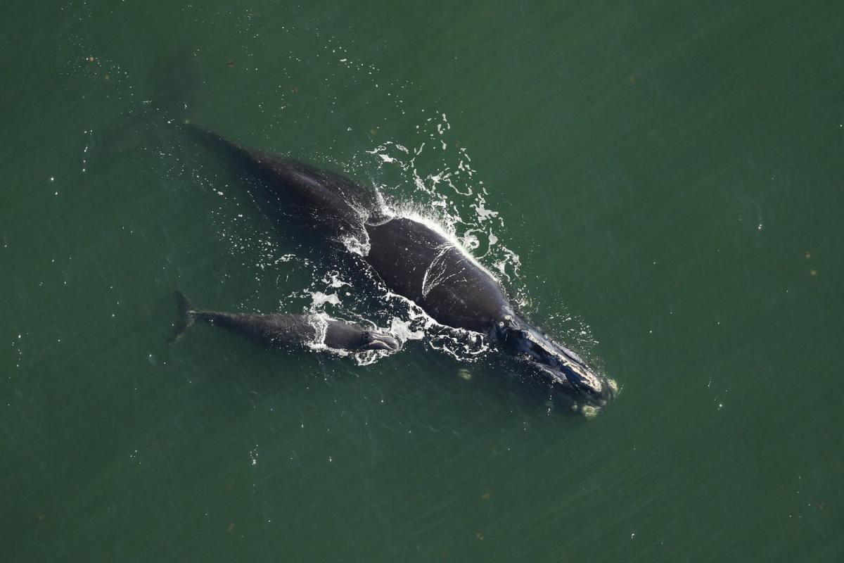 Но 'убиваем быстрее': у побережья США заметили четырнадцать китят