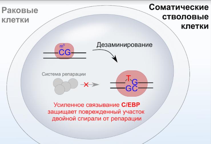 Ученые нашли белок, вызывающий мутации и в стволовых, и в раковых клетках