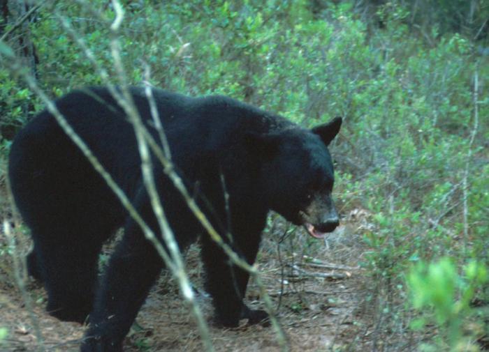 Медведи насмерть загрызли американку из штата Колорадо