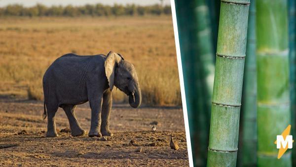 Слонёнка поймали за поеданием тростника, а он спрятался. Да, это провал, но какой смешной (и мемный)