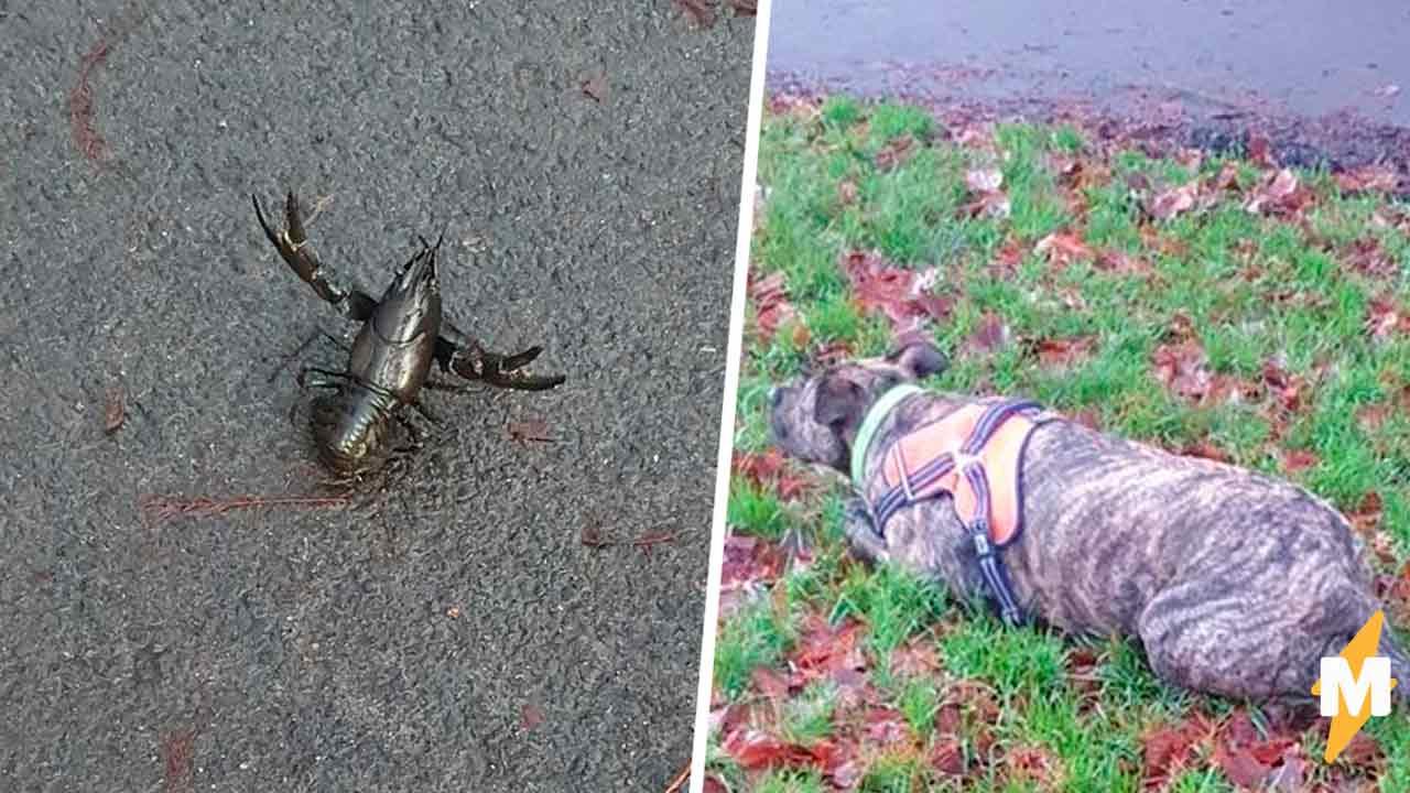 Хозяин собаки думал, что питомец нашёл в парке скорпиона, но это был редкий вид рака