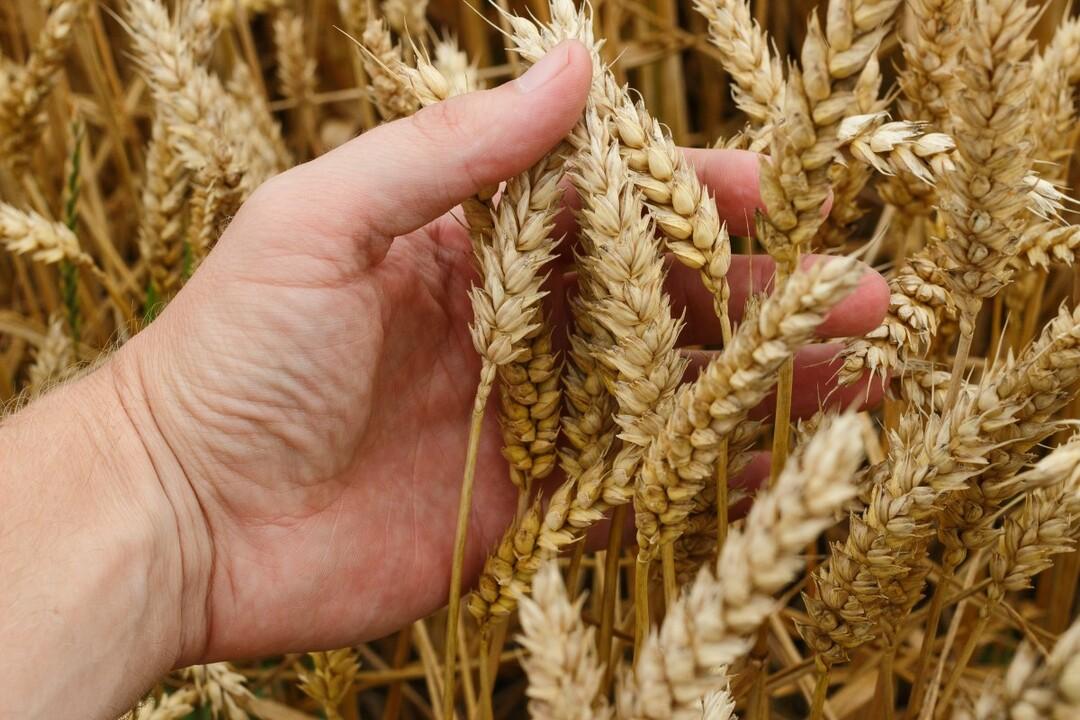Египет может остаться без российской пшеницы